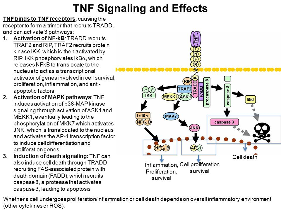 TNF Signaling and Effects Inflammation, Proliferation, survival Cell proliferation survival Cell death TNF binds to TNF receptors, causing the recepto