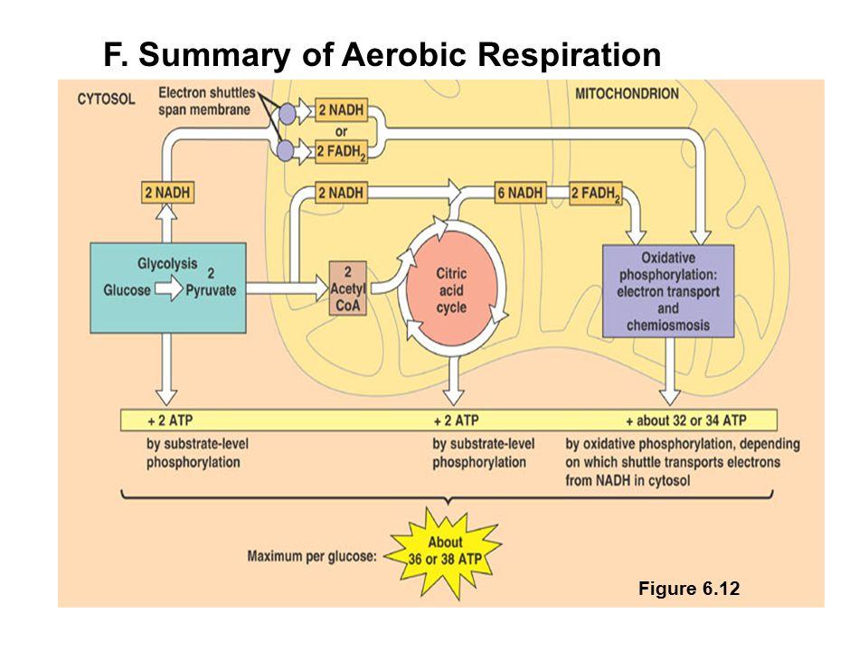 F. Summary of Aerobic Respiration Figure 6.12