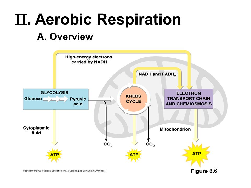 A. Overview Figure 6.6 II. Aerobic Respiration