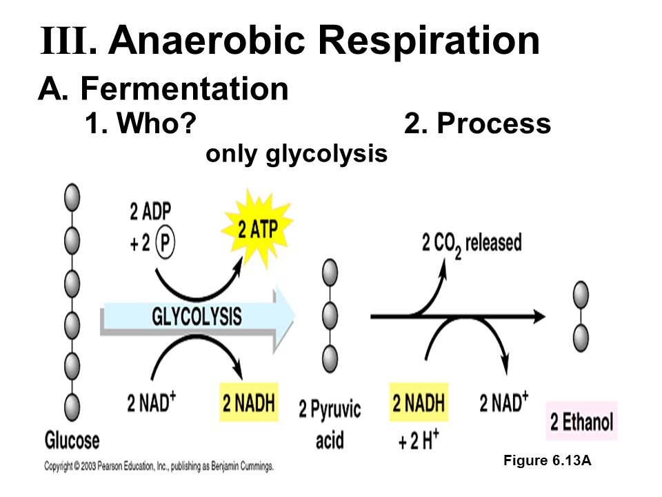 only glycolysis Figure 6.13A A. Fermentation 1. Who?2. Process III. Anaerobic Respiration