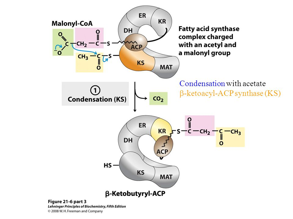 Condensation with acetate  -ketoacyl-ACP synthase (KS)