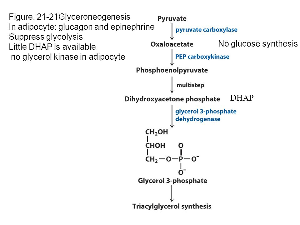 Figure, 21-21Glyceroneogenesis In adipocyte: glucagon and epinephrine Suppress glycolysis Little DHAP is available no glycerol kinase in adipocyte No