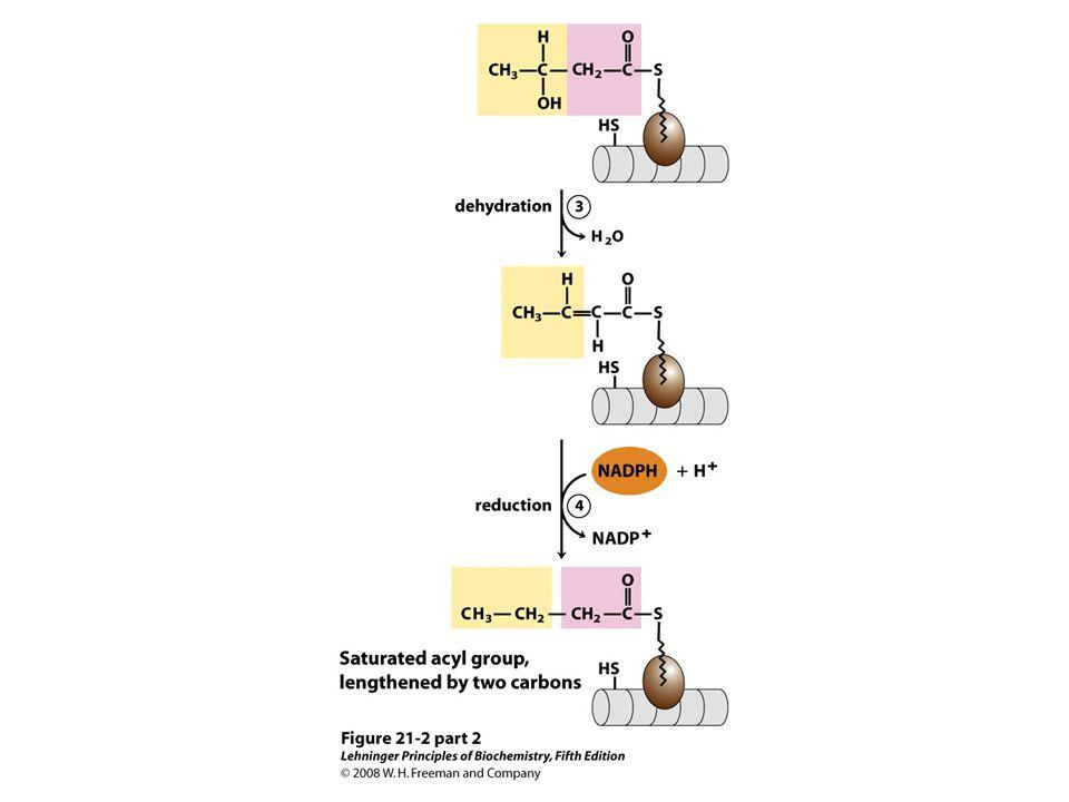 Reduction of alkene to alkane enoyl-ACP reductase (ER)