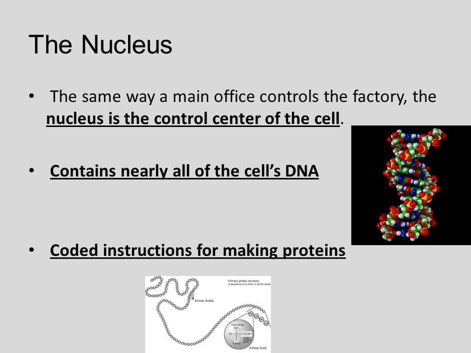 The Nucleus The same way a main office controls the factory, the nucleus is the control center of the cell. Contains nearly all of the cell's DNA Code