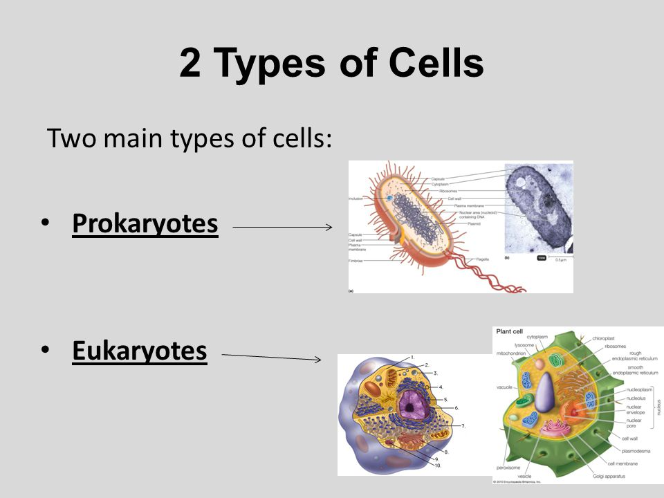 2 Types of Cells Two main types of cells: Prokaryotes Eukaryotes
