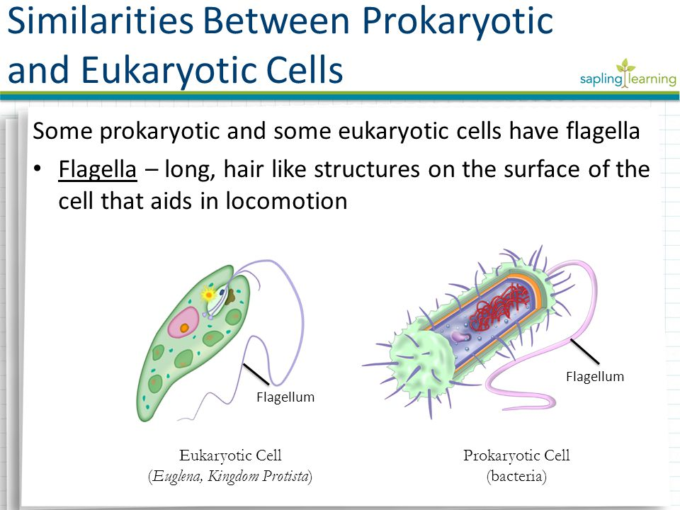 Some prokaryotic and some eukaryotic cells have flagella Flagella – long, hair like structures on the surface of the cell that aids in locomotion Flagellum Similarities Between Prokaryotic and Eukaryotic Cells Eukaryotic Cell (Euglena, Kingdom Protista) Prokaryotic Cell (bacteria)