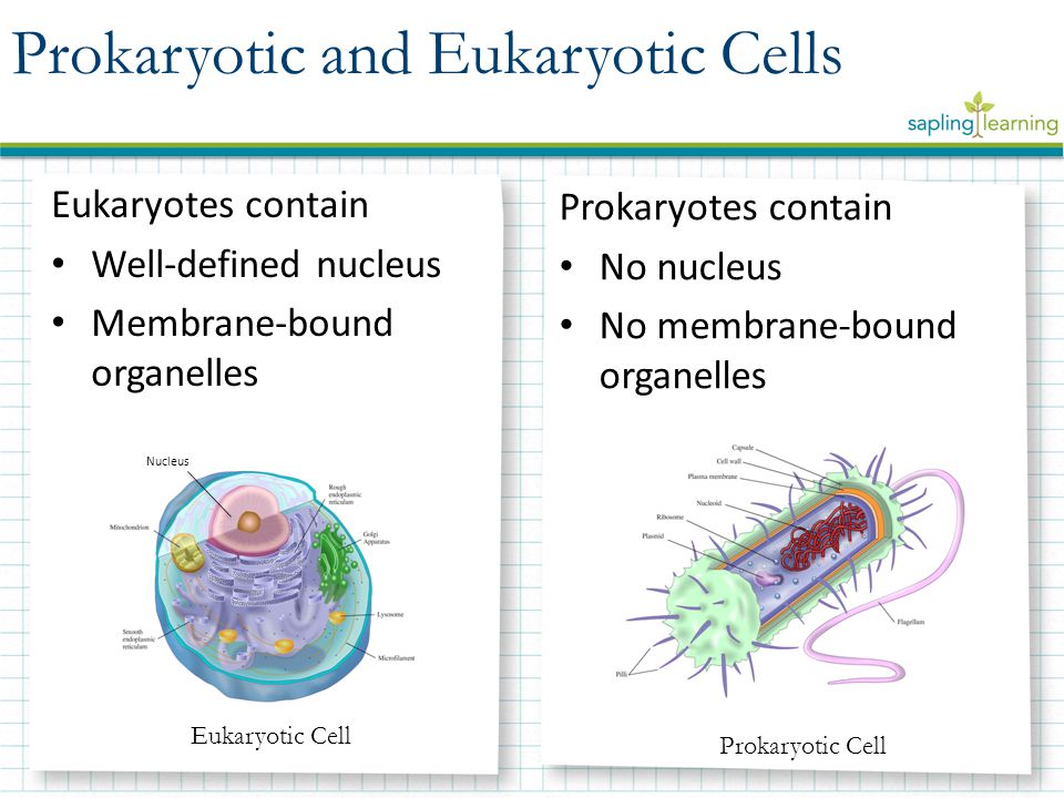 Eukaryotes contain Well-defined nucleus Membrane-bound organelles Prokaryotes contain No nucleus No membrane-bound organelles Prokaryotic and Eukaryotic Cells Nucleus Eukaryotic Cell Prokaryotic Cell