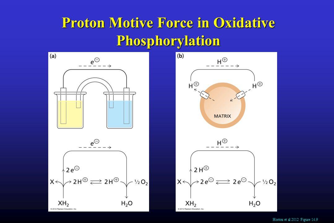 Proton Motive Force in Oxidative Phosphorylation Horton et al 2012 Figure 14.9