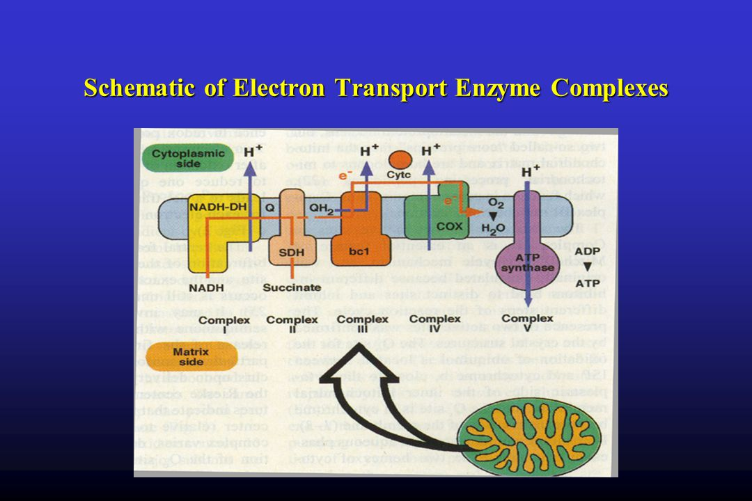 Schematic of Electron Transport Enzyme Complexes
