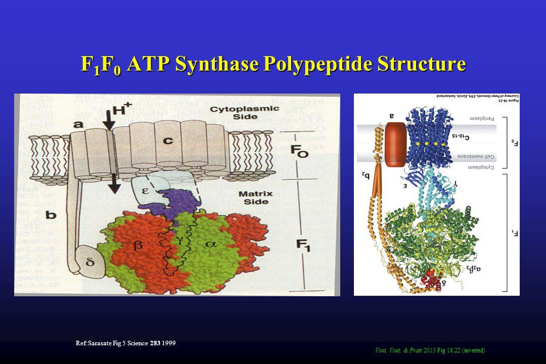 F 1 F 0 ATP Synthase Polypeptide Structure Ref:Sarasate Fig 5 Science 283 1999 Voet, Voet, & Pratt 2013 Fig 18.22 (inverted)