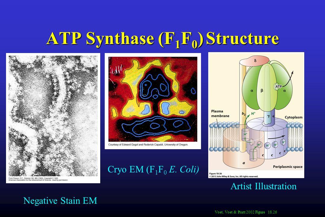 ATP Synthase (F 1 F 0 ) Structure Voet, Voet & Pratt 2002 Figure 18.26 Negative Stain EM Cryo EM (F 1 F 0 E.