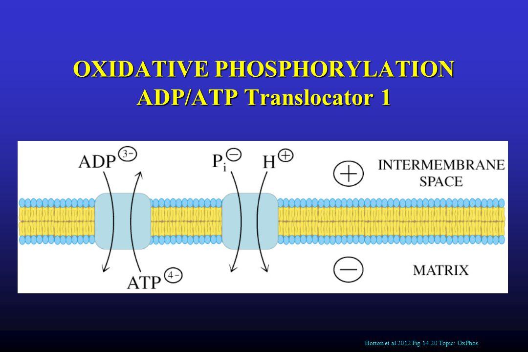 OXIDATIVE PHOSPHORYLATION ADP/ATP Translocator 1 Horton et al 2012 Fig 14.20 Topic: OxPhos