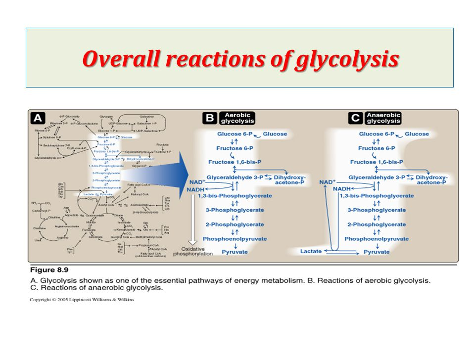Long-term Regulation of glycolysis Induction & Repression of enzymes synthesis Insulin: Induction Glucagon: Repression