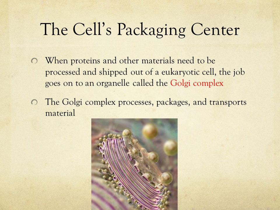The Cell's Packaging Center When proteins and other materials need to be processed and shipped out of a eukaryotic cell, the job goes on to an organel