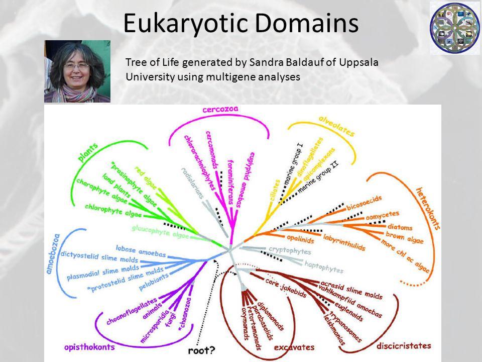 Eukaryotic Domains Tree of Life generated by Sandra Baldauf of Uppsala University using multigene analyses