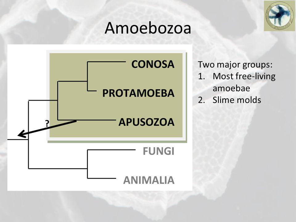 Amoebozoa Two major groups: 1.Most free-living amoebae 2.Slime molds