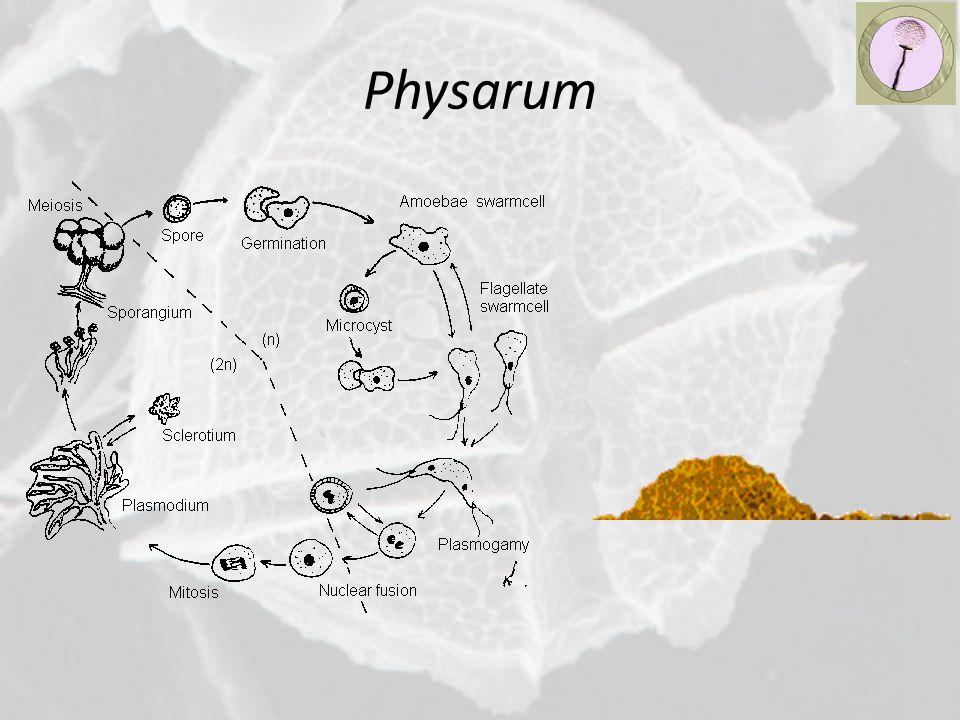 Physarum