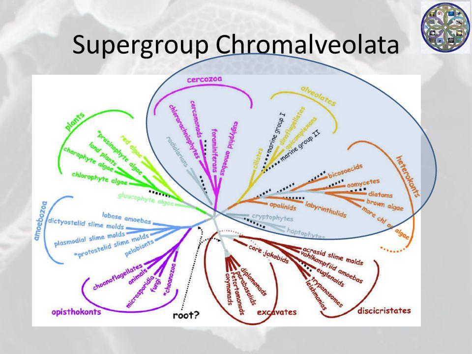Supergroup Chromalveolata