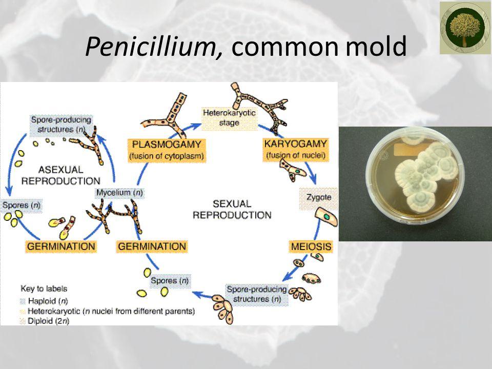 Penicillium, common mold