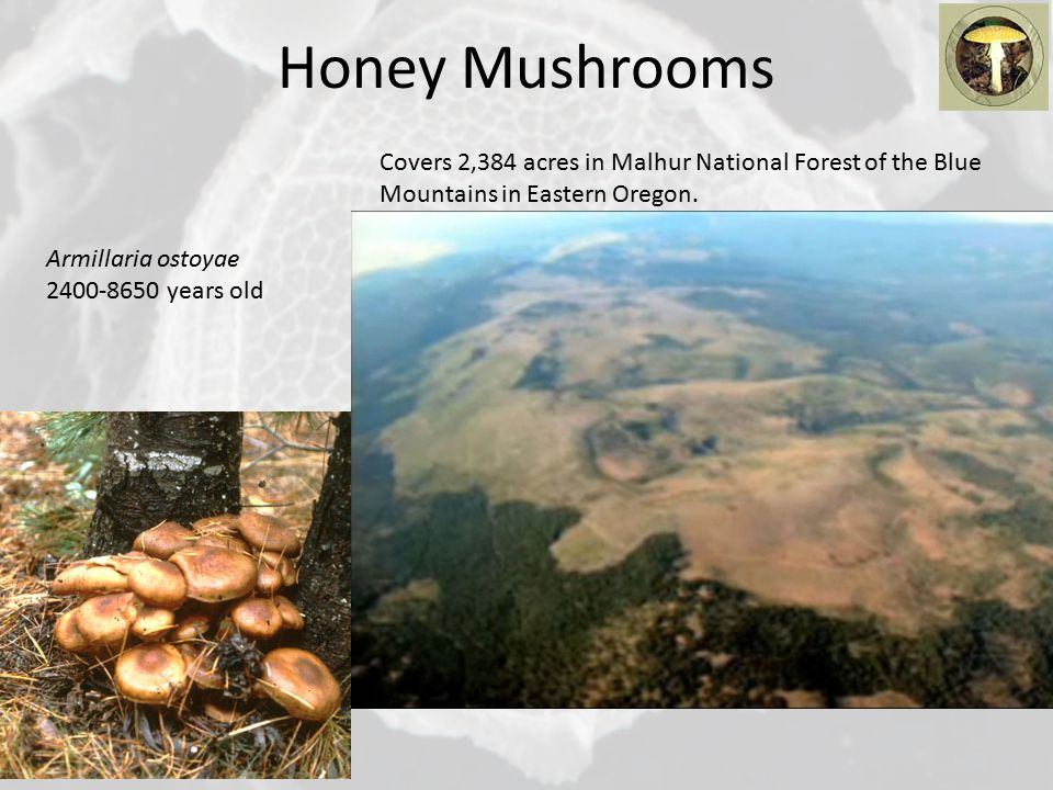 Honey Mushrooms Armillaria ostoyae 2400-8650 years old Covers 2,384 acres in Malhur National Forest of the Blue Mountains in Eastern Oregon.