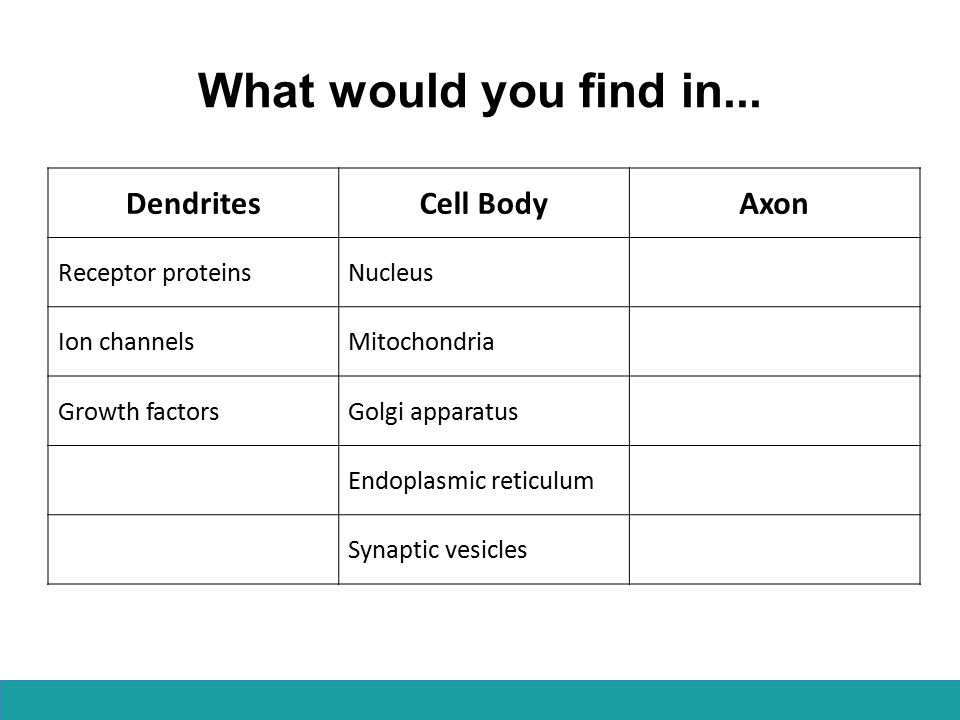 What would you find in... DendritesCell BodyAxon Receptor proteinsNucleus Ion channelsMitochondria Growth factorsGolgi apparatus Endoplasmic reticulum