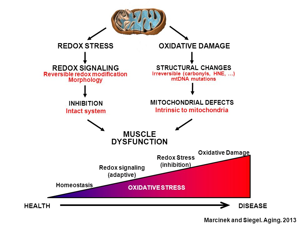 STRUCTURAL CHANGES Irreversible (carbonyls, HNE, …) mtDNA mutations OXIDATIVE DAMAGE MITOCHONDRIAL DEFECTS Intrinsic to mitochondria MUSCLE DYSFUNCTION REDOX STRESS REDOX SIGNALING Reversible redox modification Morphology INHIBITION Intact system Homeostasis Redox signaling (adaptive) Redox Stress (inhibition) Oxidative Damage HEALTHDISEASE OXIDATIVE STRESS Marcinek and Siegel.
