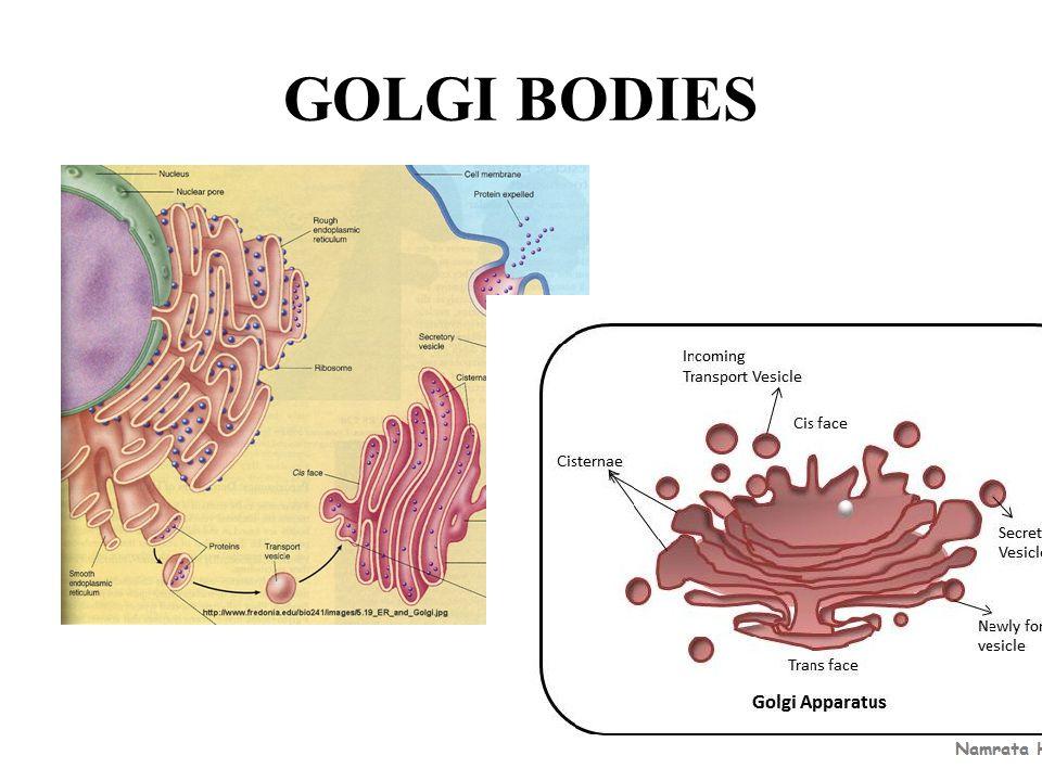 GOLGI BODIES