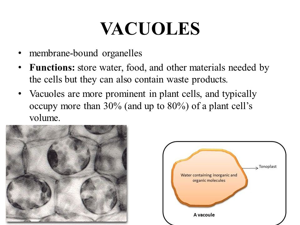 VACUOLES membrane-bound organelles Functions: store water, food, and other materials needed by the cells but they can also contain waste products. Vac