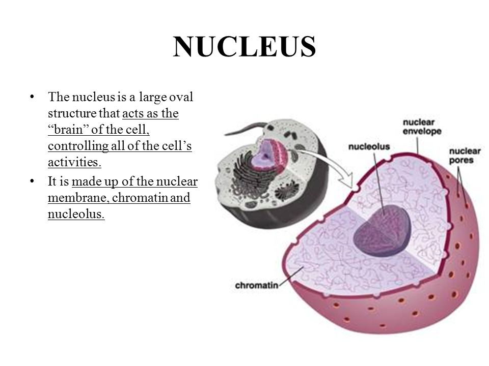 """NUCLEUS The nucleus is a large oval structure that acts as the """"brain"""" of the cell, controlling all of the cell's activities. It is made up of the nuc"""