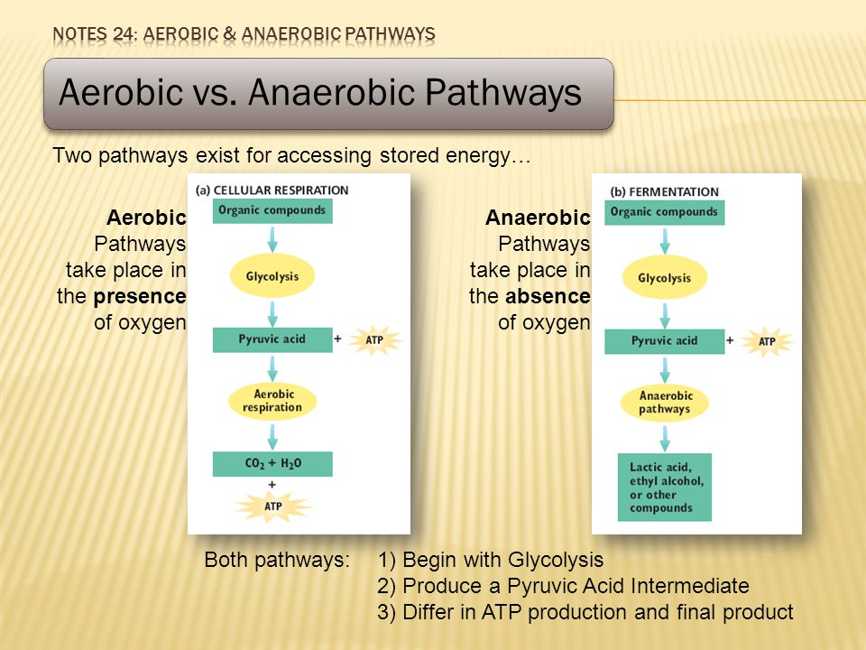 Aerobic vs. Anaerobic Pathways Two pathways exist for accessing stored energy… Both pathways: 1) Begin with Glycolysis 2) Produce a Pyruvic Acid Inter