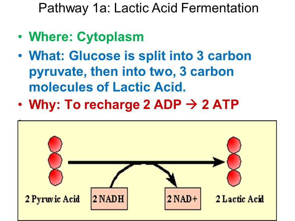 Pathway 1a: Lactic Acid Fermentation Where: Cytoplasm What: Glucose is split into 3 carbon pyruvate, then into two, 3 carbon molecules of Lactic Acid.