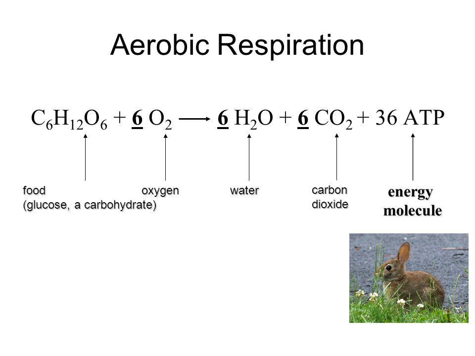 Aerobic Respiration C 6 H 12 O 6 + 6 O 2 6 H 2 O + 6 CO 2 + 36 ATP food (glucose, a carbohydrate) oxygenwater carbondioxide