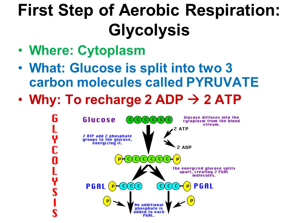 First Step of Aerobic Respiration: Glycolysis Where: Cytoplasm What: Glucose is split into two 3 carbon molecules called PYRUVATE Why: To recharge 2 A