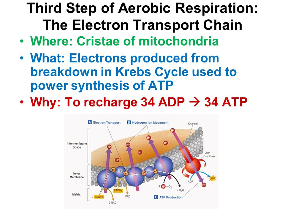 Third Step of Aerobic Respiration: The Electron Transport Chain Where: Cristae of mitochondria What: Electrons produced from breakdown in Krebs Cycle