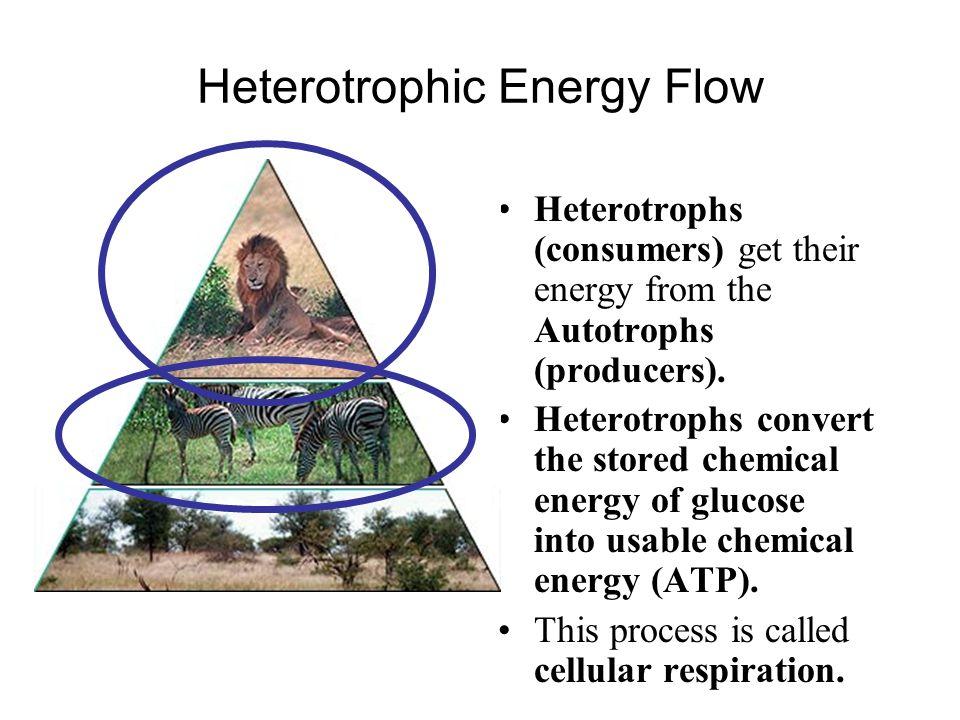 Heterotrophic Energy Flow Heterotrophs (consumers) get their energy from the Autotrophs (producers). Heterotrophs convert the stored chemical energy o