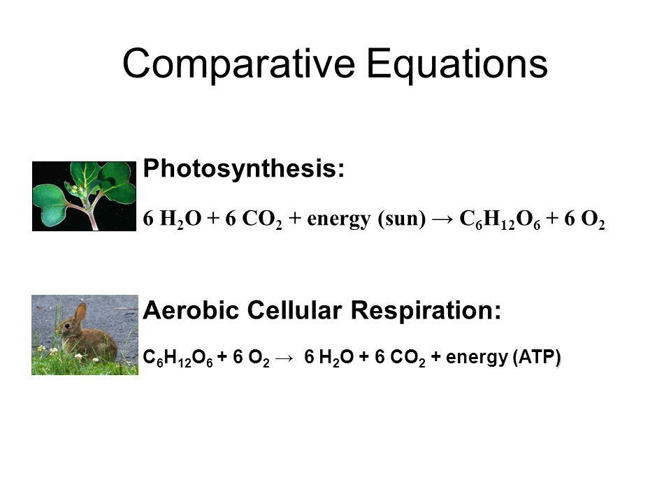 Comparative Equations Photosynthesis: 6 H 2 O + 6 CO 2 + energy (sun) → C 6 H 12 O 6 + 6 O 2 Aerobic Cellular Respiration: ) C 6 H 12 O 6 + 6 O 2 → 6