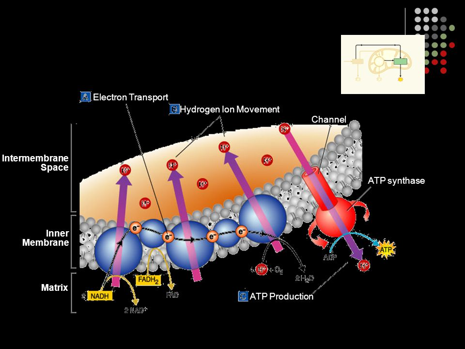 Electron Transport Hydrogen Ion Movement ATP Production ATP synthase Channel Matrix Intermembrane Space Inner Membrane