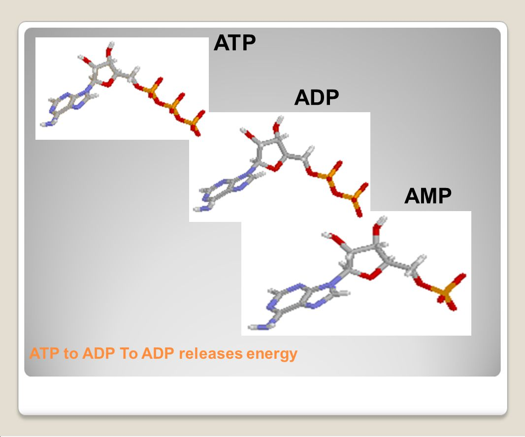ATP to ADP To ADP releases energy AMP ADP ATP