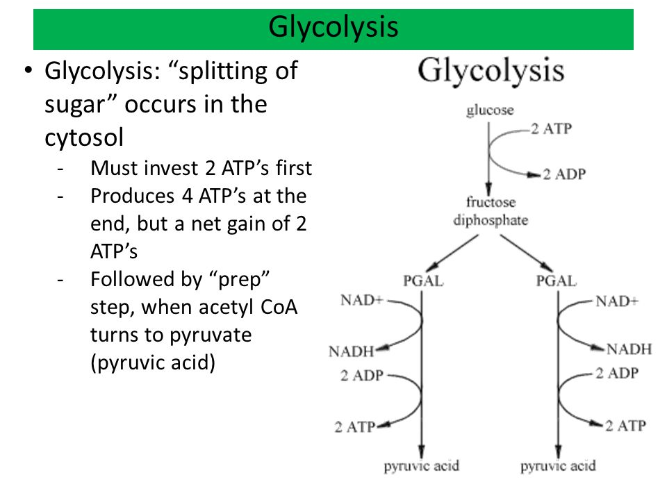 Glycolysis Glycolysis: splitting of sugar occurs in the cytosol -Must invest 2 ATP's first -Produces 4 ATP's at the end, but a net gain of 2 ATP's -Followed by prep step, when acetyl CoA turns to pyruvate (pyruvic acid)