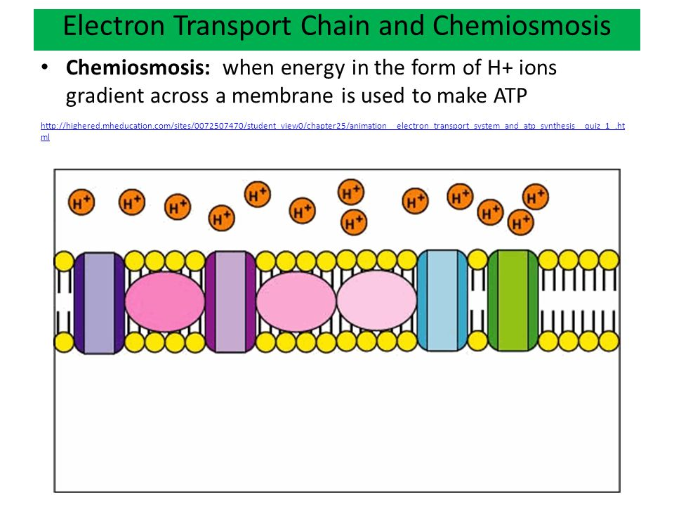 Electron Transport Chain and Chemiosmosis Chemiosmosis: when energy in the form of H+ ions gradient across a membrane is used to make ATP http://highered.mheducation.com/sites/0072507470/student_view0/chapter25/animation__electron_transport_system_and_atp_synthesis__quiz_1_.ht ml