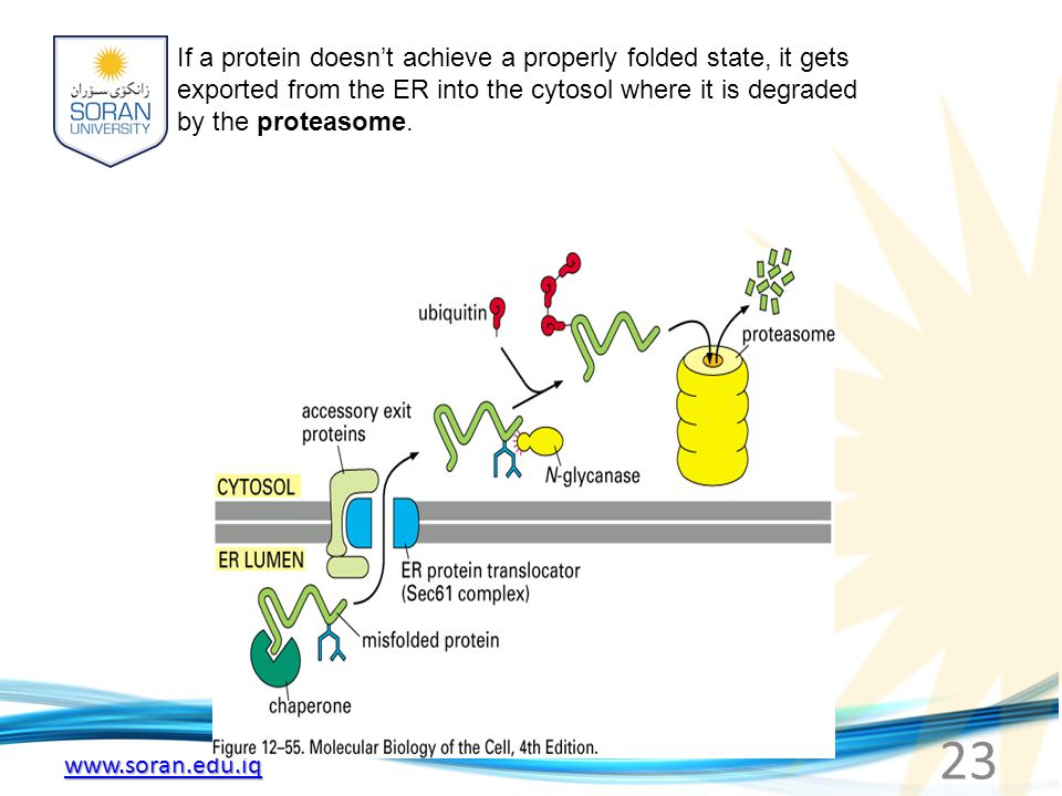 www.soran.edu.iq If a protein doesn't achieve a properly folded state, it gets exported from the ER into the cytosol where it is degraded by the prote