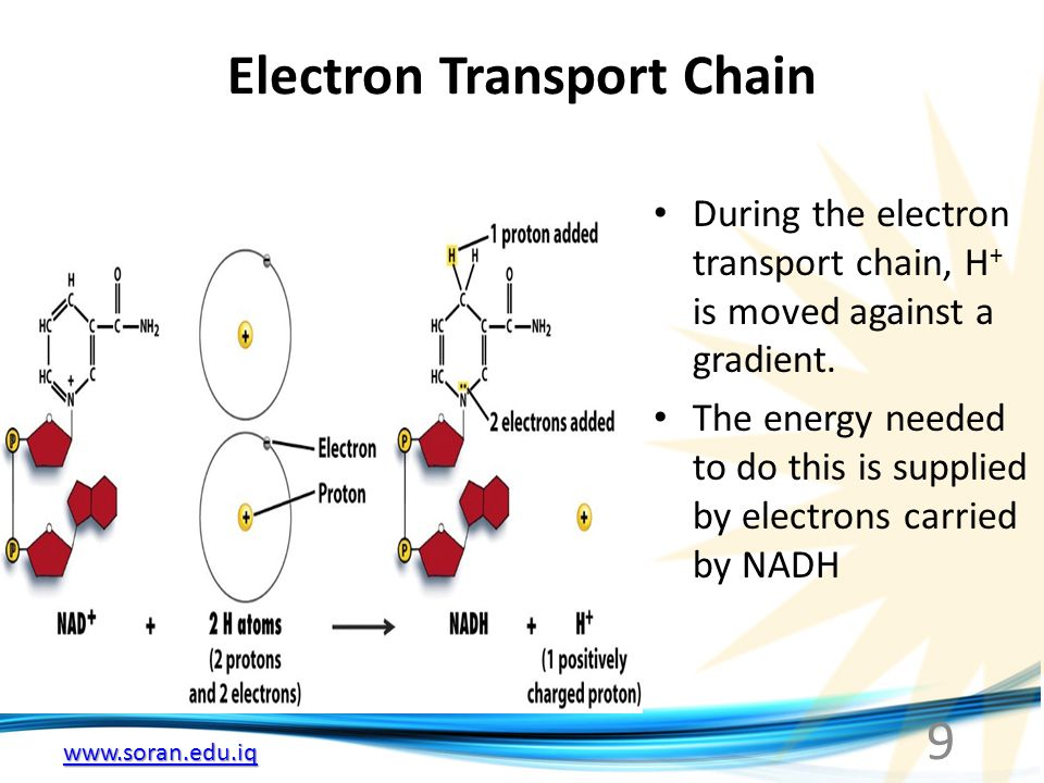 Electron Transport Chain During the electron transport chain, H + is moved against a gradient. The energy needed to do this is supplied by electrons c