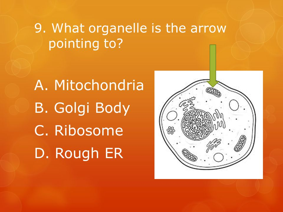 9. What organelle is the arrow pointing to A. Mitochondria B. Golgi Body C. Ribosome D. Rough ER