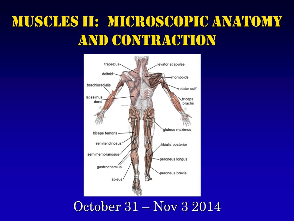 Muscles II: Microscopic Anatomy and Contraction October 31 – Nov 3 2014