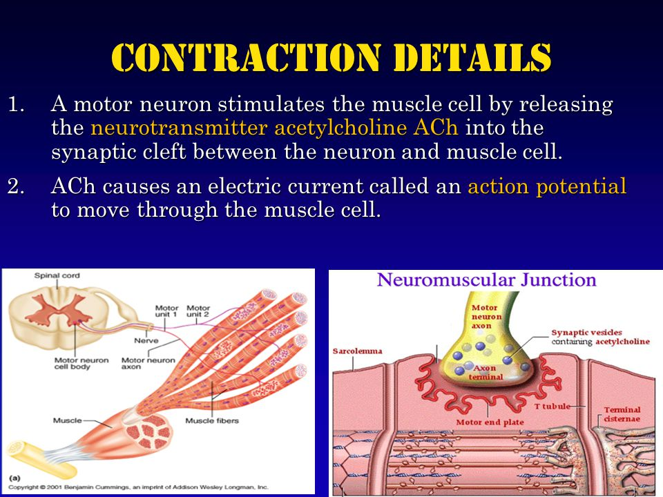 Contraction Details 1.A motor neuron stimulates the muscle cell by releasing the neurotransmitter acetylcholine ACh into the synaptic cleft between the neuron and muscle cell.