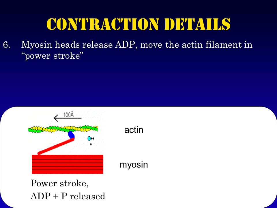 Contraction Details 6.Myosin heads release ADP, move the actin filament in power stroke Power stroke, ADP + P released myosin actin