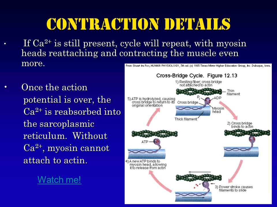 Contraction Details If Ca 2+ is still present, cycle will repeat, with myosin heads reattaching and contracting the muscle even more.