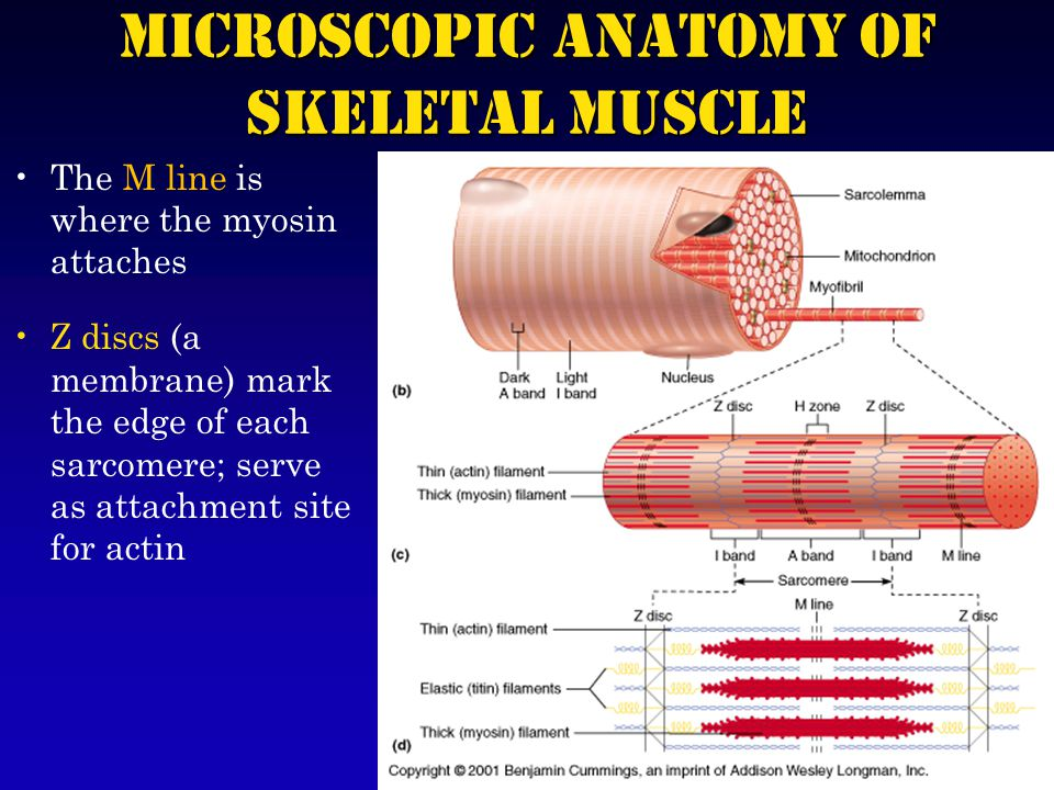 The M line is where the myosin attaches Z discs (a membrane) mark the edge of each sarcomere; serve as attachment site for actin Microscopic Anatomy of Skeletal Muscle