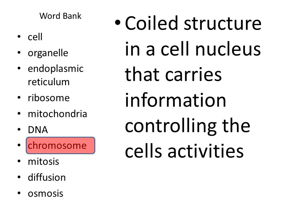 Word Bank Coiled structure in a cell nucleus that carries information controlling the cells activities cell organelle endoplasmic reticulum ribosome m