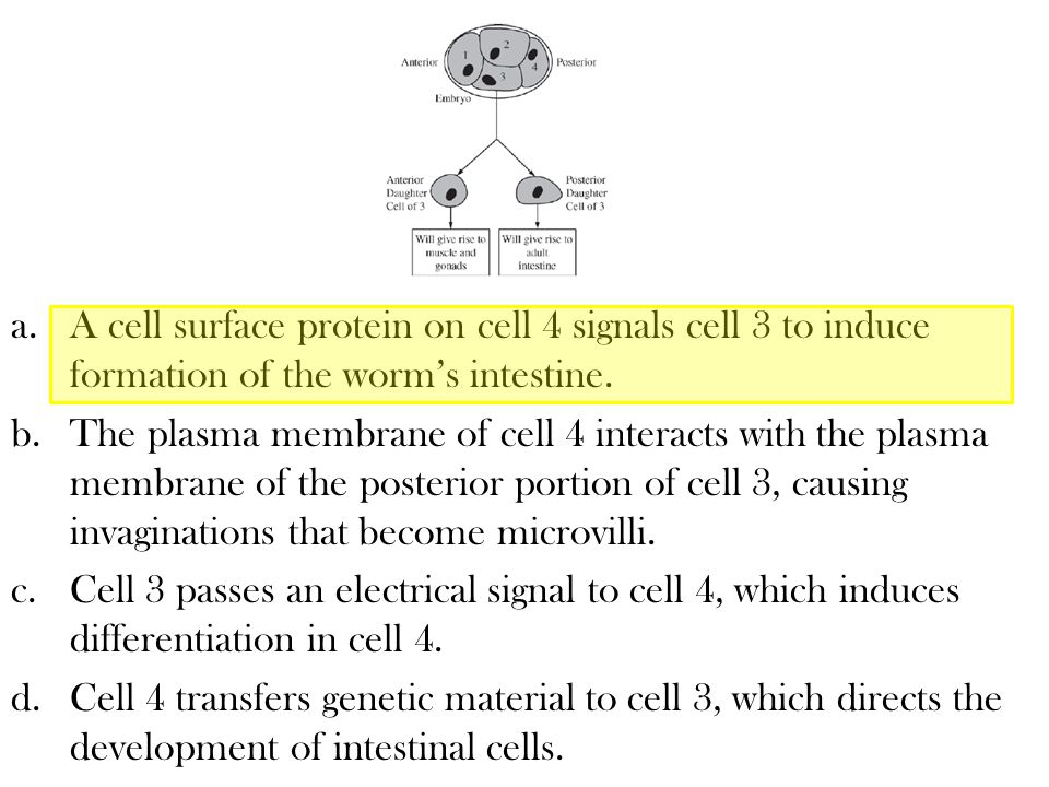 a.A cell surface protein on cell 4 signals cell 3 to induce formation of the worm's intestine. b.The plasma membrane of cell 4 interacts with the plas
